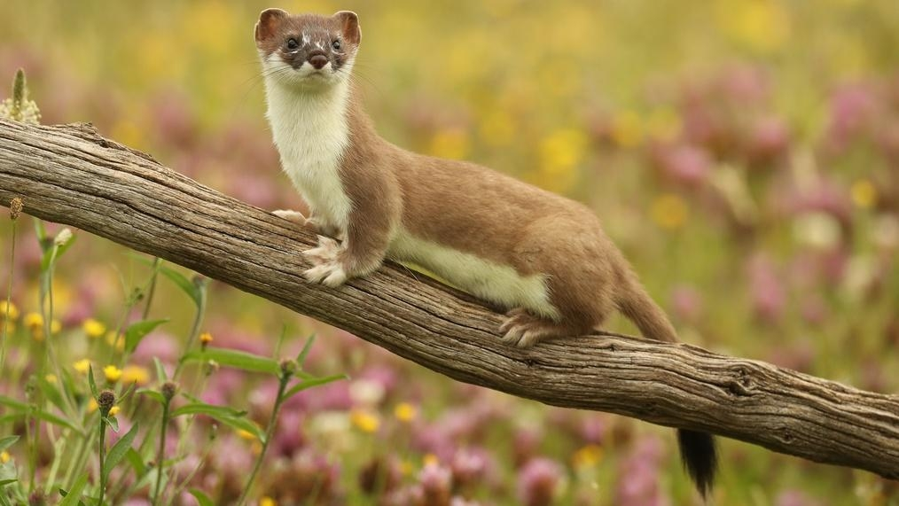 The Mighty Weasel